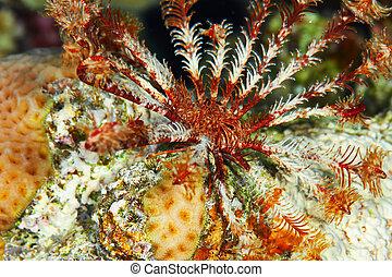 Klunzingers crinoid Lamprometra klunzingeri, Red Sea Egypt...