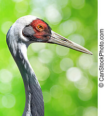 The White-naped crane Grus vipio on green natural background...