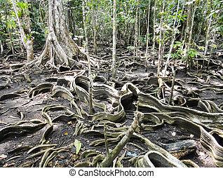 Liana roots. Panama