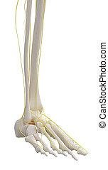 Left leg skeleton with nervous.
