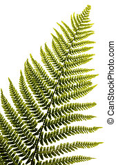 fern leaf isolated on white background with clipping path