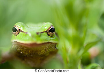 Little green frog - Close up of a little spring green frog...