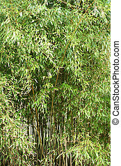 Bamboo trees - A bamboo tree background
