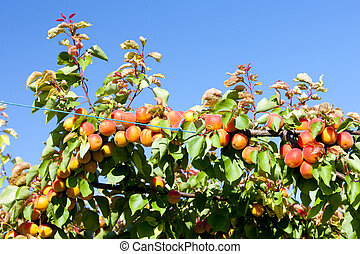 apricots in orchard