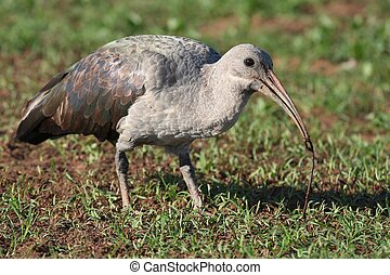 Ibis Bird and Worm - Hadeda Ibis bird with earthworm in its...