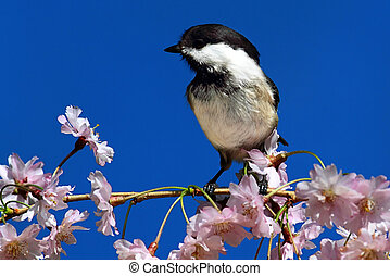 Chickadee With Cherry Blossoms