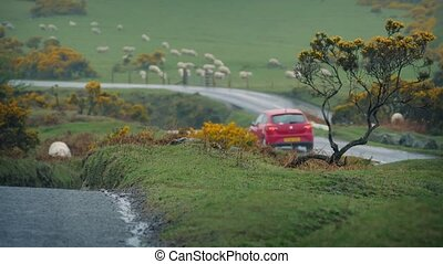 Cars Passing In Farmland Near Sheep - A couple of cars pass...