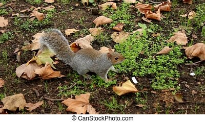 Squirrel in one of London Parks - The grey squirrel in one...