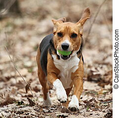 Beagle running with Easter Egg - A beagle running through...