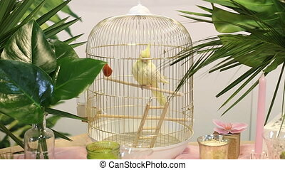 Domestic caged yellow budgie parrot - Domestic caged yellow...
