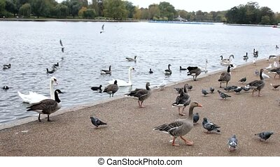 London Park - Many ducks, birds and gooses at london park