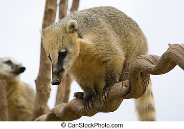 Coati Portrait