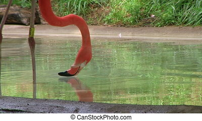 Flamingo Eating And Drinking - American flamingo eating and...