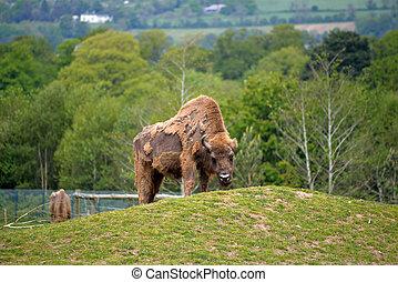 European Bison in fota wildlife park near cobh county cork...