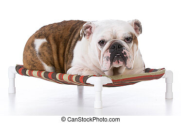 dog laying on dog bed - bulldog laying on dog bed watching...