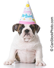 birthday bulldog puppy