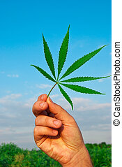 Green leaf of marijuana in a hand against the sky