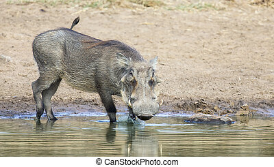 Single old Warthog standing at a waterhole drinking