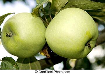 Two large green apples on a branch closeup