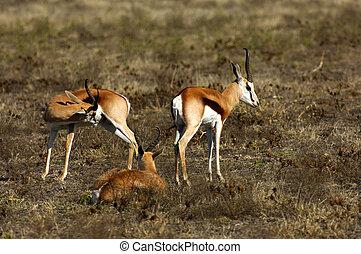 Springboks Antidorcas marsupialis, Game Reserve, Africa