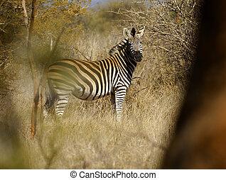 Burchell\'s Zebra, Equus burchelli, Game Reserve, Africa