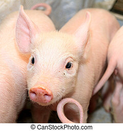 Small Pig - Small and Funny Pink Piglet at Farm