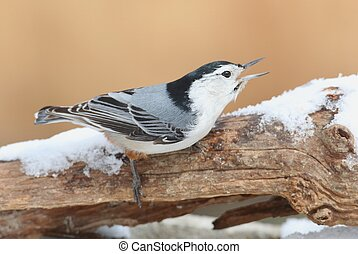 Nuthatch (sitta carolinensis) in snow - Nuthatch (sitta...