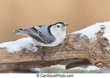 Nuthatch sitta carolinensis in snow - Nuthatch sitta...