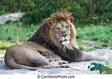 Lion (Panthera leo) - Male lion resting on the ground in its...