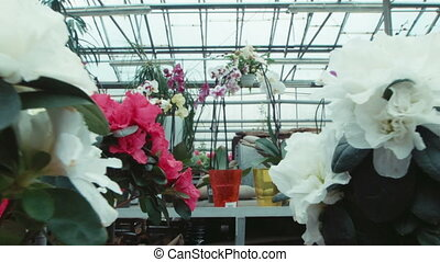 Azalea flowers in the greenhouse - Flowers an azalea on a...