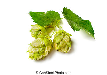 Hop plant - Green hop plant isolated on white background