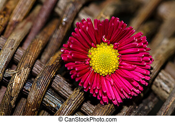 pink daisy - bright pink daisy on wooden background