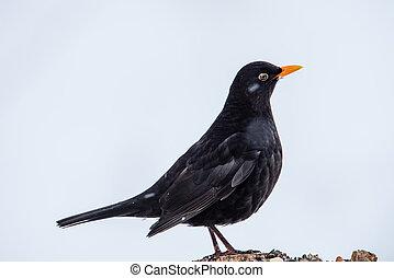 Mr Blackbird rule the roost. A male Common Blackbird (Turdus...