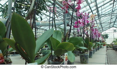 Orchids in the greenhouse - Wide shot of orchids in the...