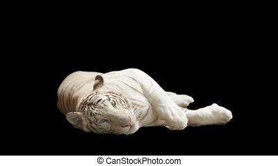 white tiger lying on its side on a black background