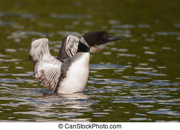 Common Loon - A beautiful Common Loon on a northern...