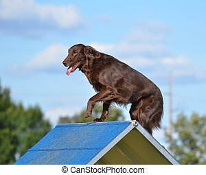 Flat-Coated Retriever at Dog Agility Trial - Liver...