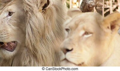 white lion and lioness in the zoo day