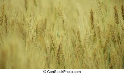 golden wheat forming ears