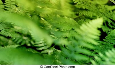 Ferns Rack Focus - Ferns in the forest in sunny weather