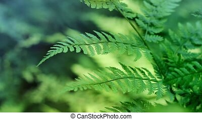 Ferns In Breeze Loop - Shallow focus shot of ferns deep in...