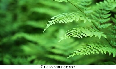 Ferns Shallow Focus Loop - Close-up of fern in forest,...