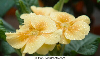 Drops of water fall on a yellow flower