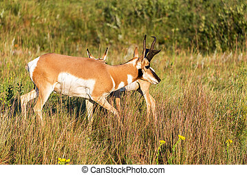 Pronghorn Antelope - Pronghorn antelope in Custer State Park...