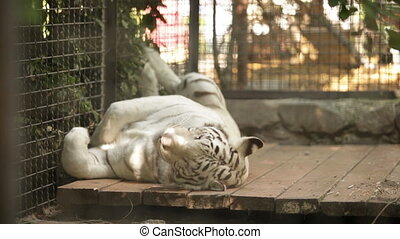 white tiger is the afternoon at the zoo