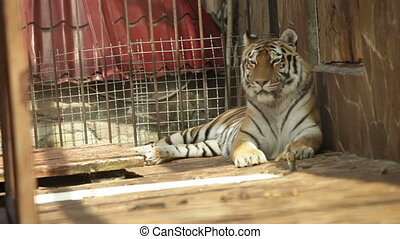 Tiger lying on its side in a zoo day
