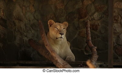 White lioness lying in the afternoon at the zoo