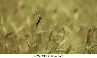 ears in a field of golden wheat