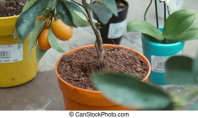 Citrus flower in the greenhouse - Citrus flower for sale in...