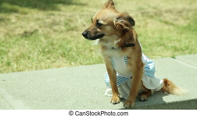 red dog in a dress